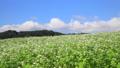 広大なそば畑 27522549