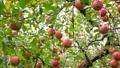 津軽りんご りんご園 パンニング 27565293