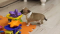 Puppy of chihuhua play with little girl 27586704
