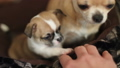 Puppy of chihuhua plays with male fingers 27586707