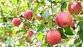 りんご園 津軽りんご 27597502