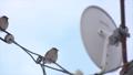 すずめ 鳥 雀の動画 27669722