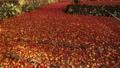 11月秋  紅葉の鶏足寺  滋賀の秋景色 27882994