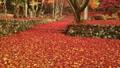 11月秋  紅葉の鶏足寺  滋賀の秋景色 27882995