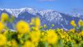 比良山と菜の花 27917796