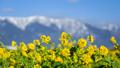 比良山と菜の花 27917797