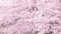 桜の木、桜、花びら 28121725