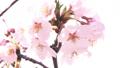 桜の木、桜、花びら 28121727