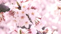 桜の木、桜、花びら 28121731