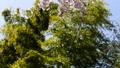 【チルトアップ】春の風に煽られる竹林と桜の花 28180054