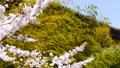 【ズームアウト】青空のもと、そよ風になびく桜と竹林 28180060