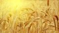 Ripe wheat against the bright sun 28230601