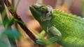 变色龙 蜥蜴 绿色 28308719
