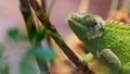 变色龙 蜥蜴 绿色 28308734