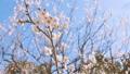 Japanease White Plum Flowers,Tokyo,Japan 28551517
