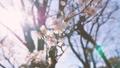 Japanease White Plum Flowers,Tokyo,Japan 28551519