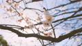 Japanease White Plum Flowers,Tokyo,Japan 28551520