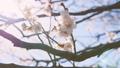 Japanease White Plum Flowers,Tokyo,Japan 28551521