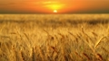 Golden ears of ripe wheat at sunset 28590702