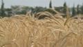 Ears of ripe wheat 28590703