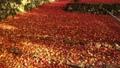 11月秋  紅葉の鶏足寺  滋賀の秋景色 28691217