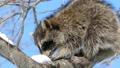 青空をバックに木の実を食べる野生のアライグマ_1 28711579