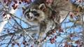青空をバックに木の実を食べる野生のアライグマ_2 28711580