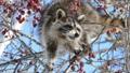 青空をバックに木の実を食べる野生のアライグマ_3 28711581