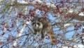 青空をバックに木の実を食べる野生のアライグマ_4 28711582