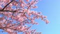 桜 28740668