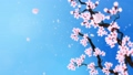 満開になる桜の花びら ループ 青背景 28741509