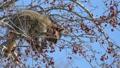 青空をバックに木の実を食べる野生のアライグマ_9 28781237