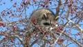 青空をバックに木の実を食べる野生のアライグマ_10 28781238