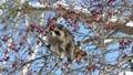 青空をバックに木の実を食べる野生のアライグマ_15 28781243