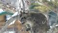 青空をバックに木の実を食べる野生のアライグマ_16 28781244