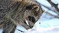 青空をバックに木の実を食べる野生のアライグマ_18 28781246