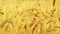 Golden Ears of ripe wheat 28914336