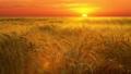 Wheat field at sunset 28933202