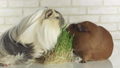Guinea pigs breed Golden American Crested and 28987959