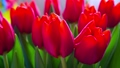Colorful bouquet of red tulips blooms, rotation 29090489