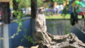 Suricate or meerkat standing in alert position 29253377