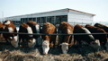 Brown hairy cows are eating hay in winter 29292320
