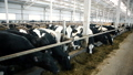 A bright dining room for cows 29292337