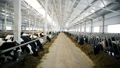 A large, bright, clean barn with animals 29292348