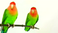 lovebirds on a white background 29298032