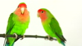 lovebirds on a white background 29298033