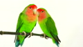 lovebirds on a white background 29298034
