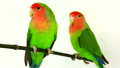 lovebirds on a white background 29298069