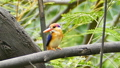 The Oriental dwarf kingfisher on branch. 29371976