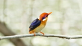 The Oriental dwarf kingfisher on branch. 29371977